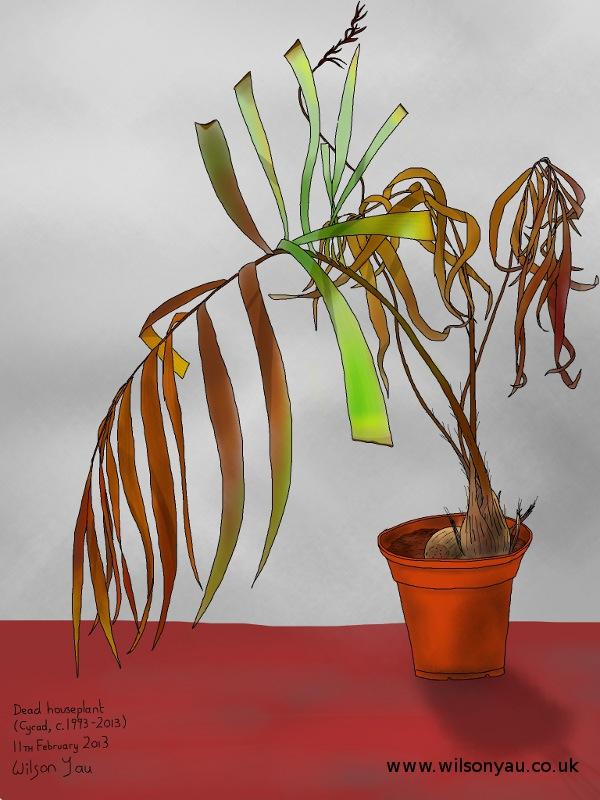 Dead cycad plant, 11th February 2013