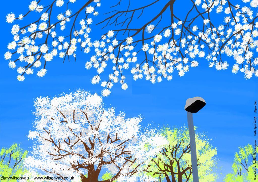 Cherry trees, Harborne, Birmingham